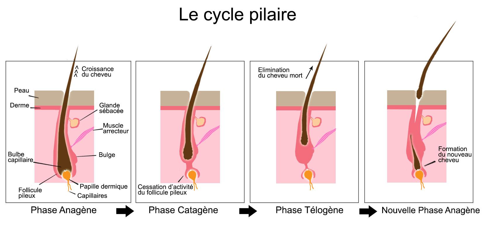 cycle de vie d'un cheveu