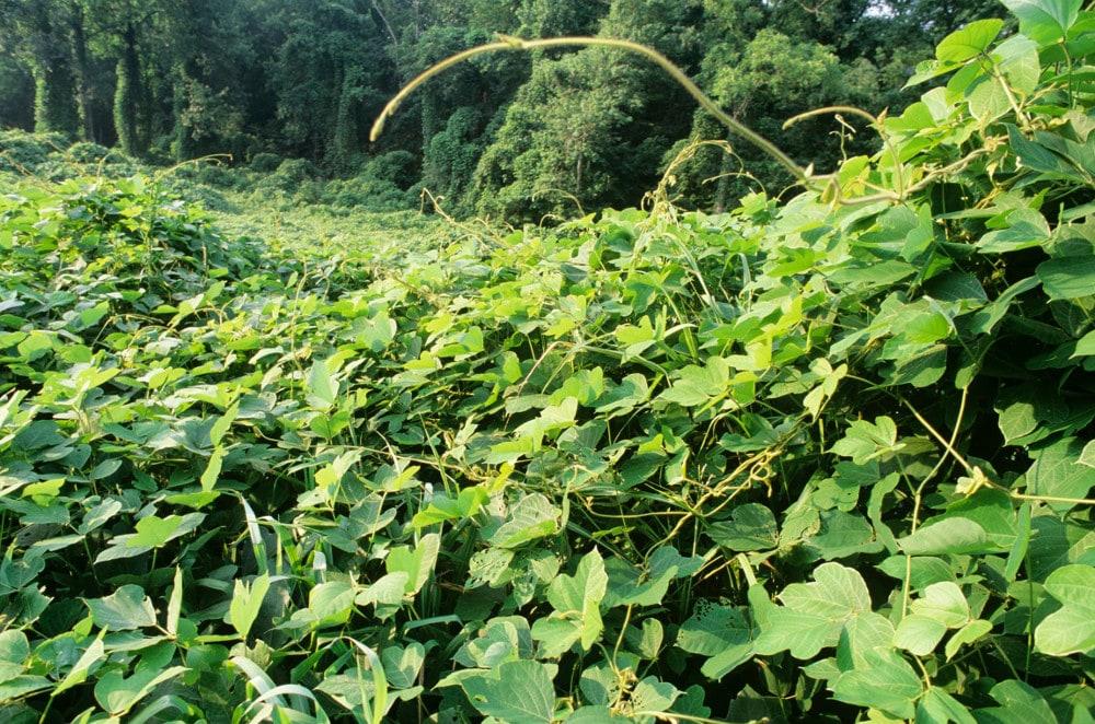 kudzu plante