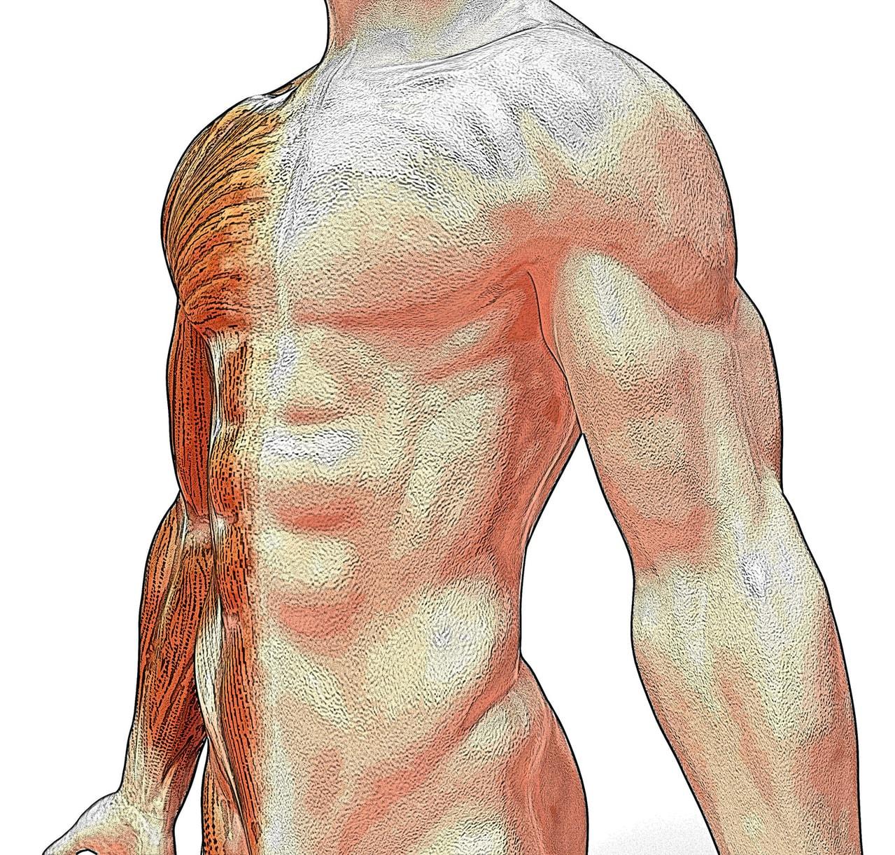Comment prendre de la masse musculaire rapidement et
